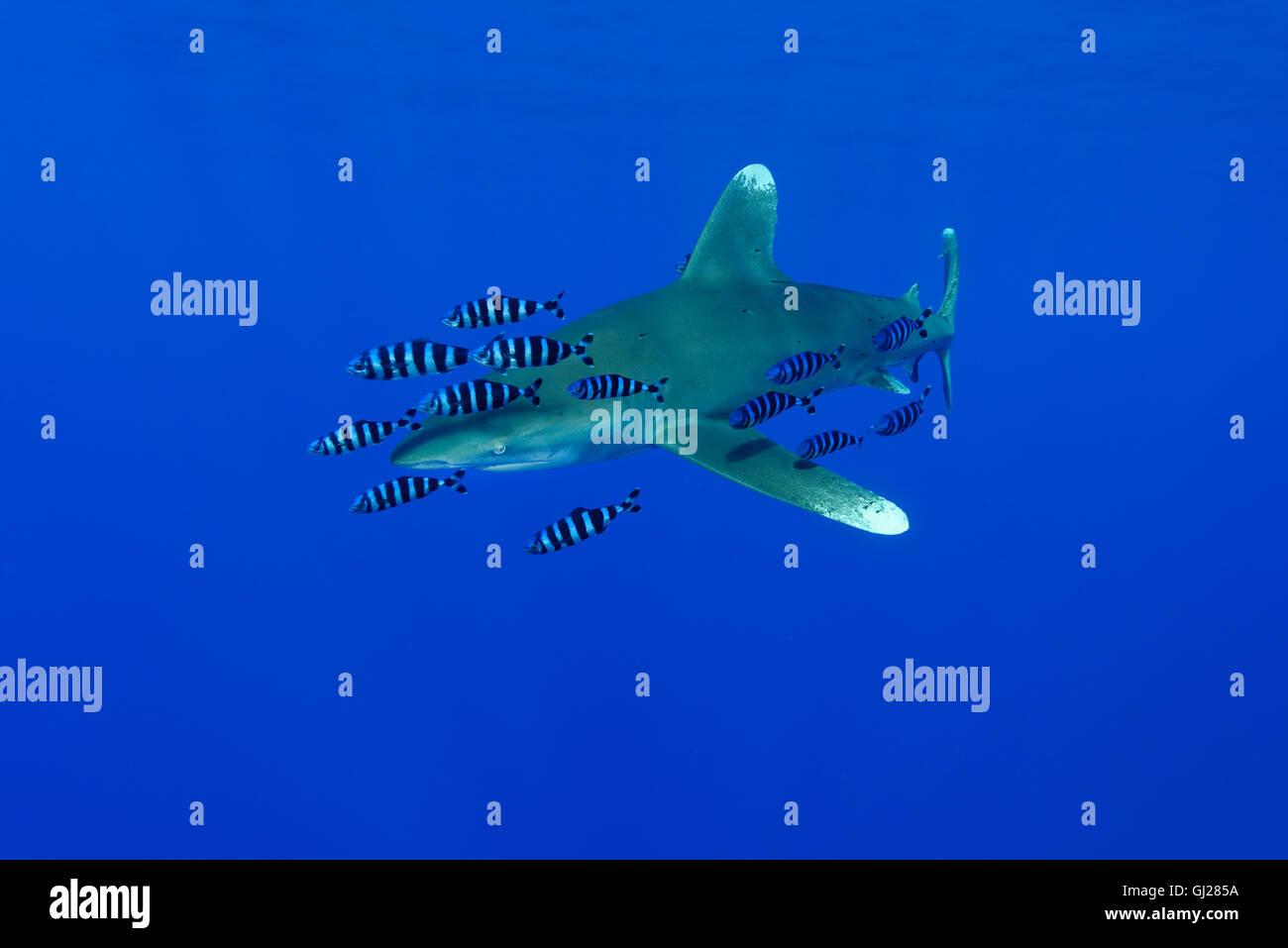 Carcharhinus longimanus, Naucrates ductor, Oceanic whitetip shark with pilot fish, pilotfish, Daedalus Reef, Red - Stock Image