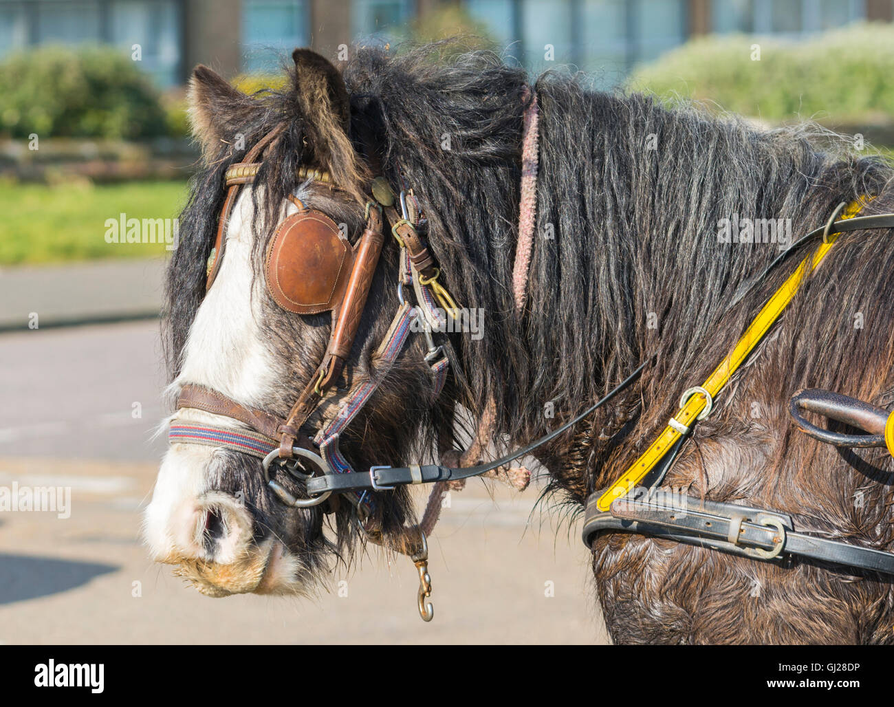 Gypsy horse head looking neglected and dirty. - Stock Image