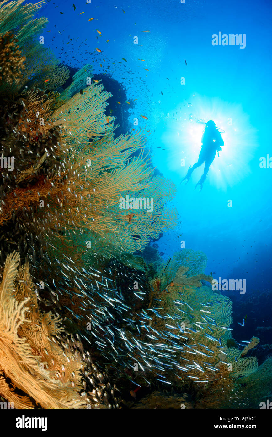 Coralreef and scuba diver with giant sea fans, glassfish and juvenile barracudas, Safaga, Red Sea, Egypt Stock Photo