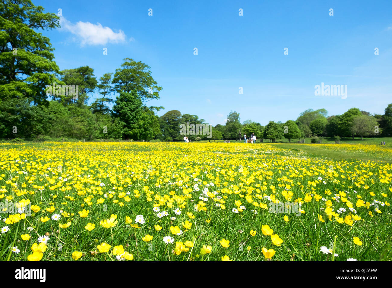 A park meadow full of flowering buttercups and daisies - Stock Image