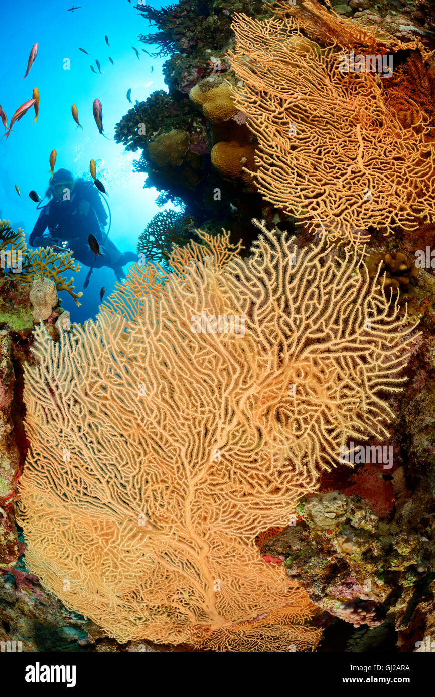 Coral reef with Giant Gorgonian or Sea fan and scuba diver, Safaga, Red Sea, Egypt Stock Photo
