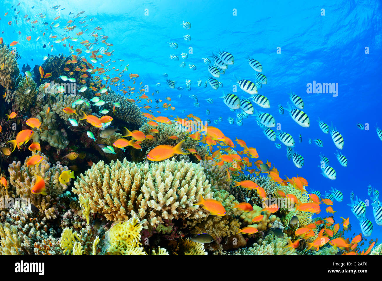 Coralreef with Sea Goldie or Red Coral Perch and Indo Pacific sergeant, Safaga, Red Sea, Egypt Stock Photo