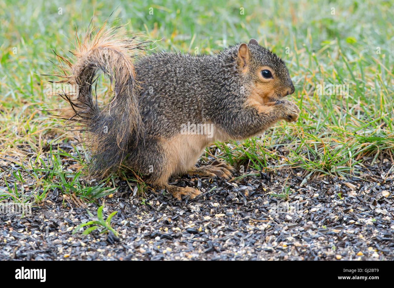 Eastern Fox Squirrel (Sciurus niger) feeding on bird seed, near bird feeder, park, E North America - Stock Image