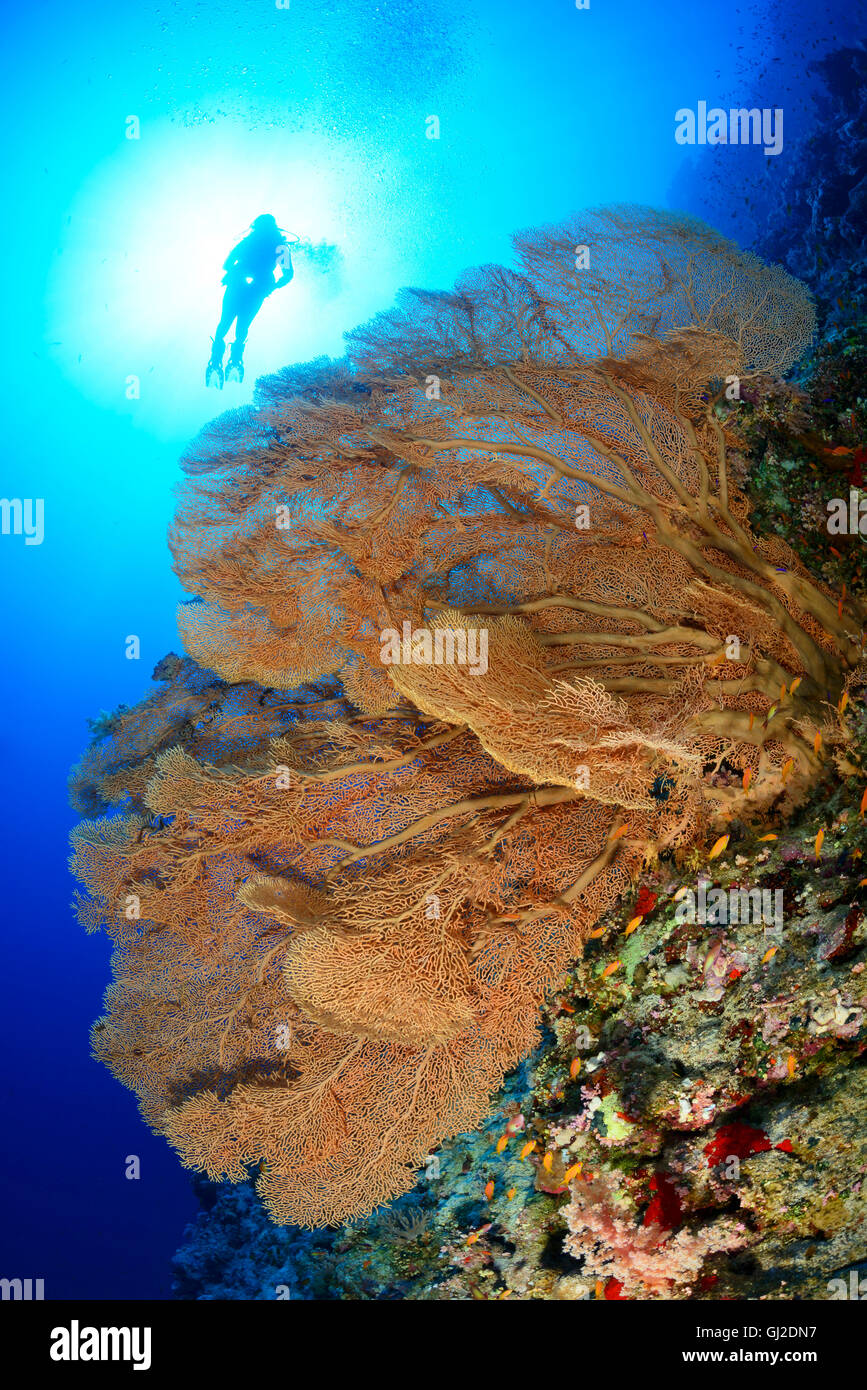 Coral reef with Giant Gorgonian or Sea fan and scuba diver, Wadi Gimal, Marsa Alam, Red Sea, Egypt Stock Photo