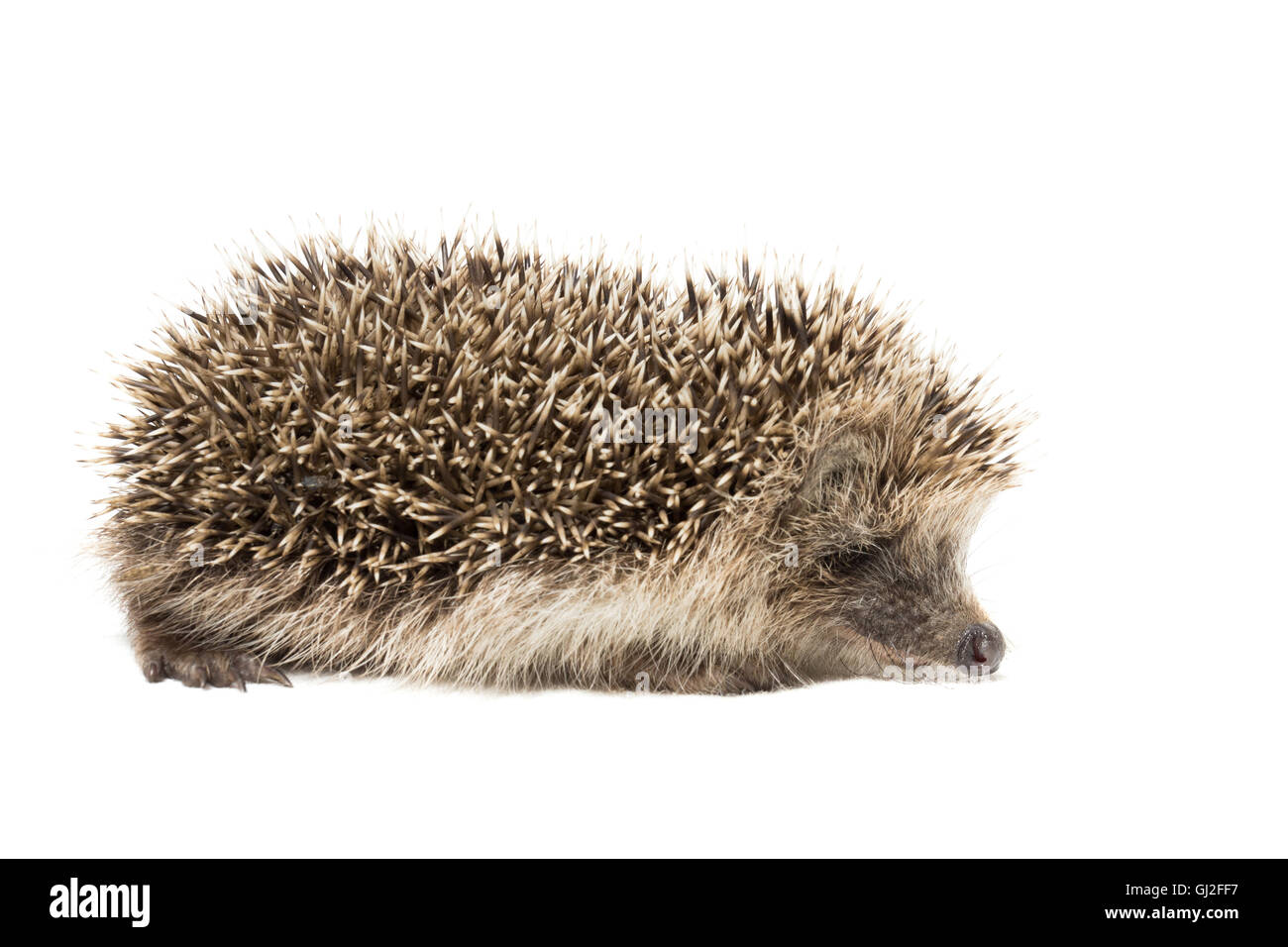 the photograph depicted a hedgehog on a white background - Stock Image