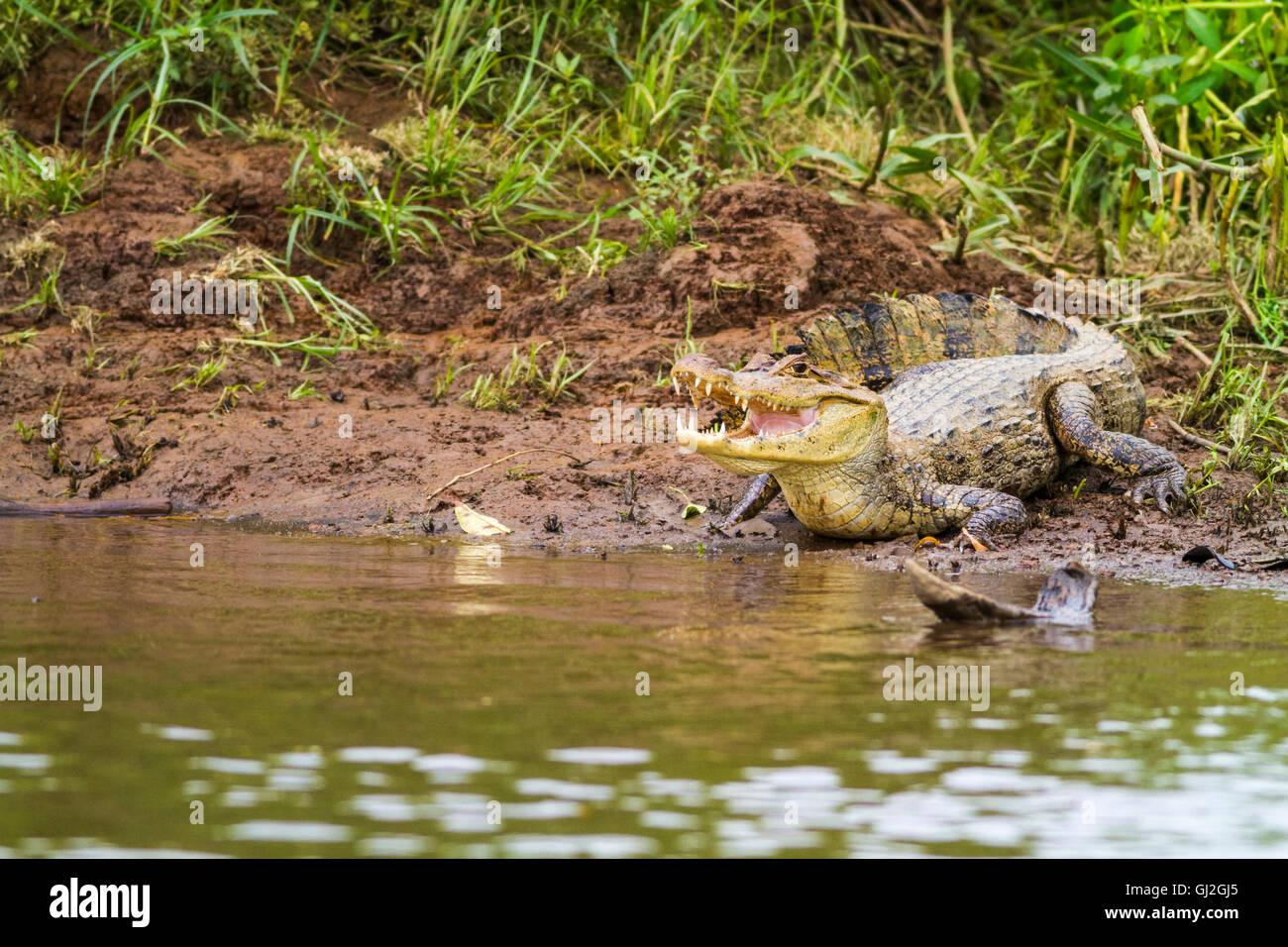 Cayman (Caiman crocodilus fuscus) , Cano Negro reserve, Alajuela, Costa Rica - Stock Image