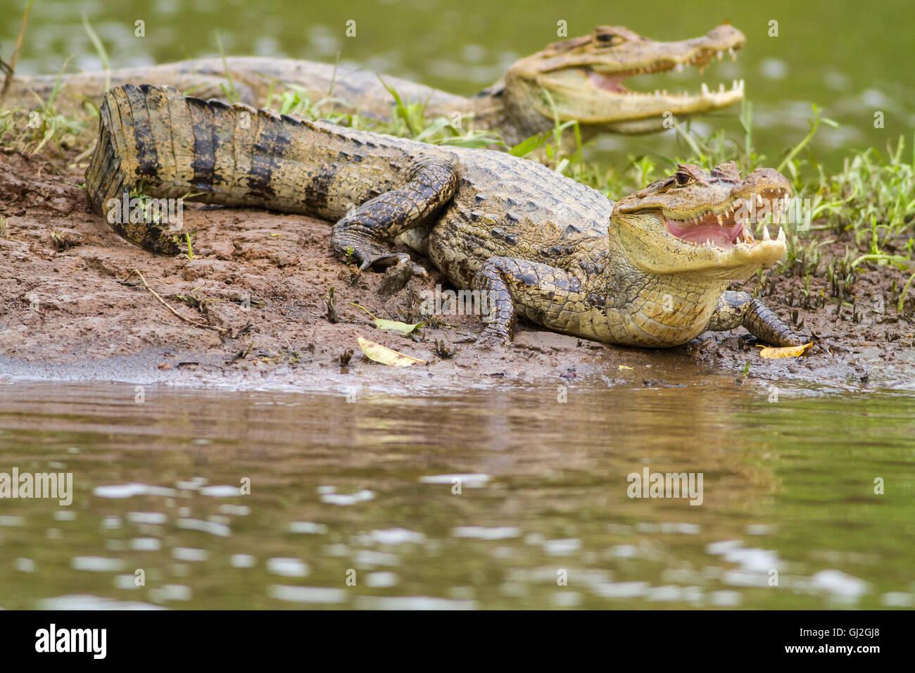 Two caymans (Caiman crocodilus fuscus) , Cano Negro reserve, Alajuela, Costa Rica - Stock Image