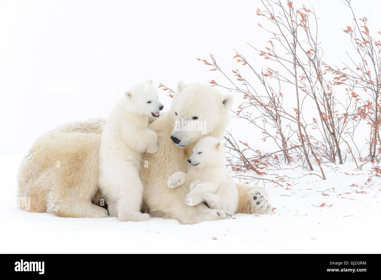 Polar bear mother (Ursus maritimus) lying down with two playing cubs, Wapusk National Park, Manitoba, Canada - Stock Image