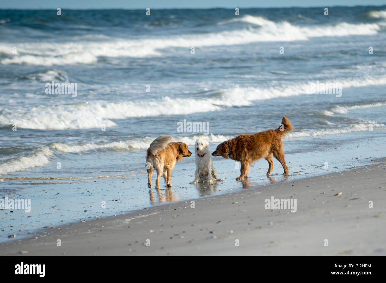 Goldendoodle with two golden retrievers on beach - Stock Image