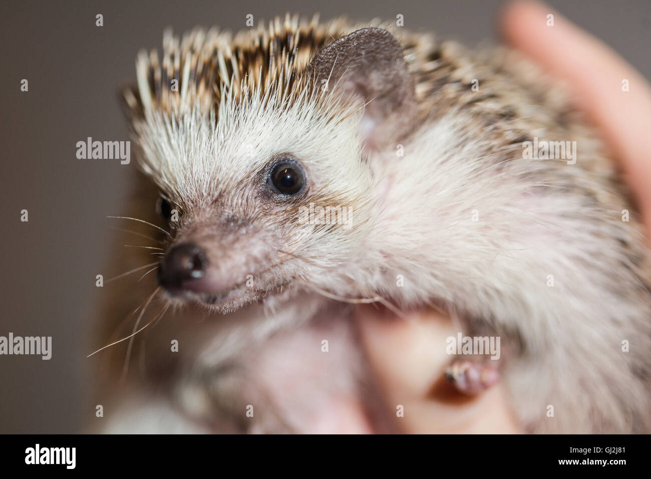 Close up of person holding hedgehog - Stock Image