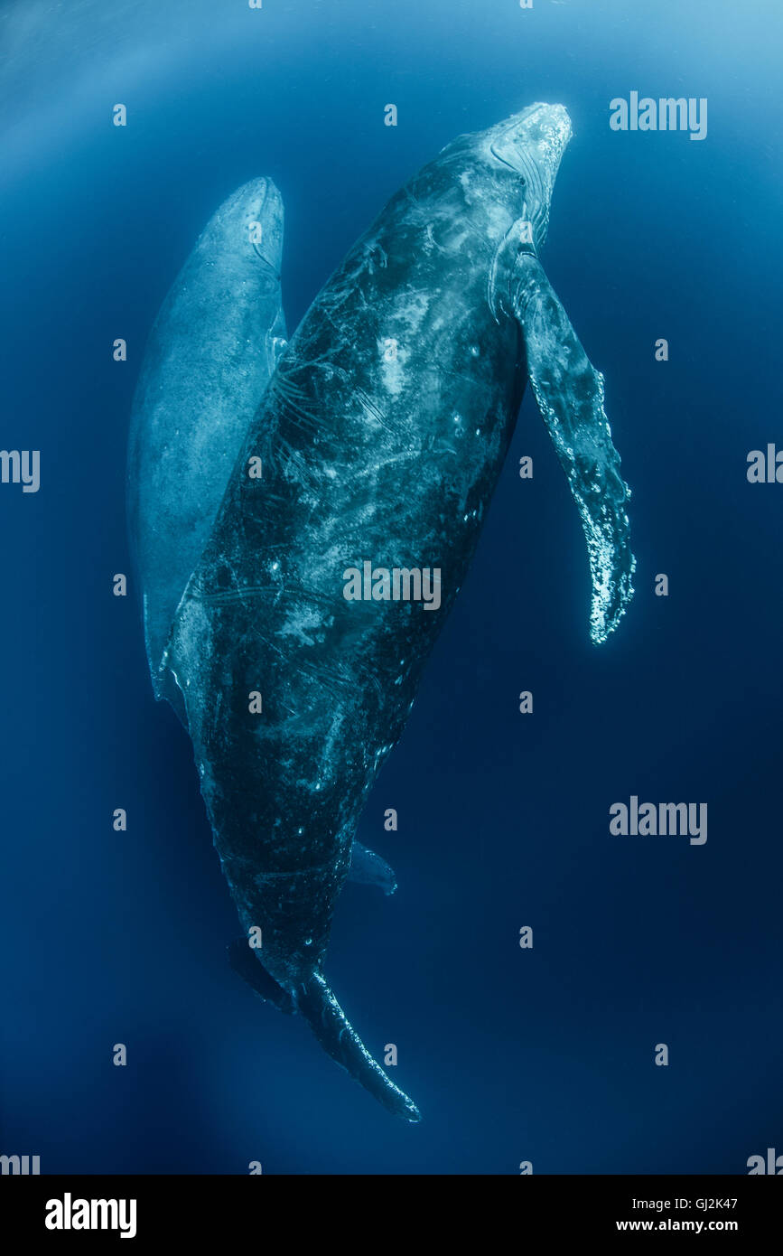 Humpback whales (Megaptera Novaeangliae) ascend from deep dive - Stock Image