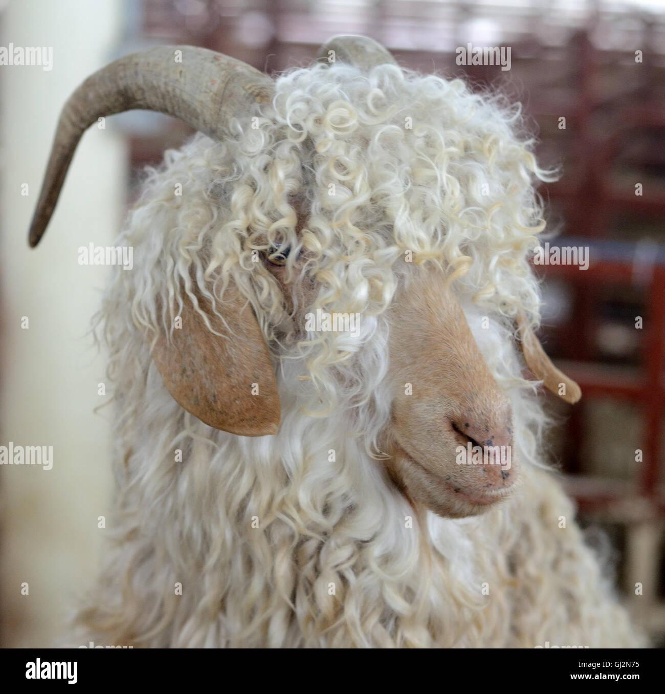 Sheep, long hair - Stock Image