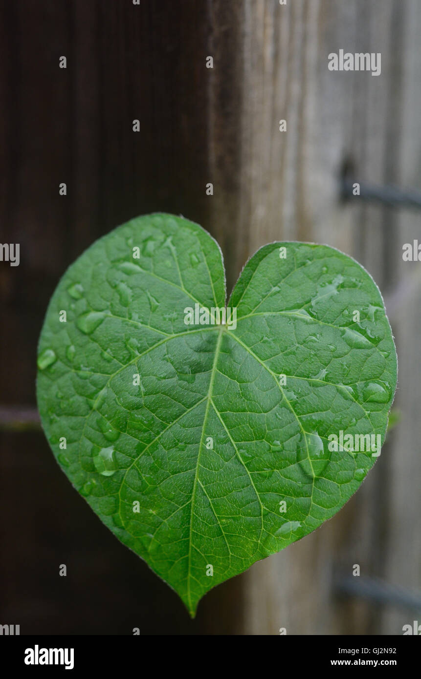 Morning glory leaf In the shape of a heart - Stock Image