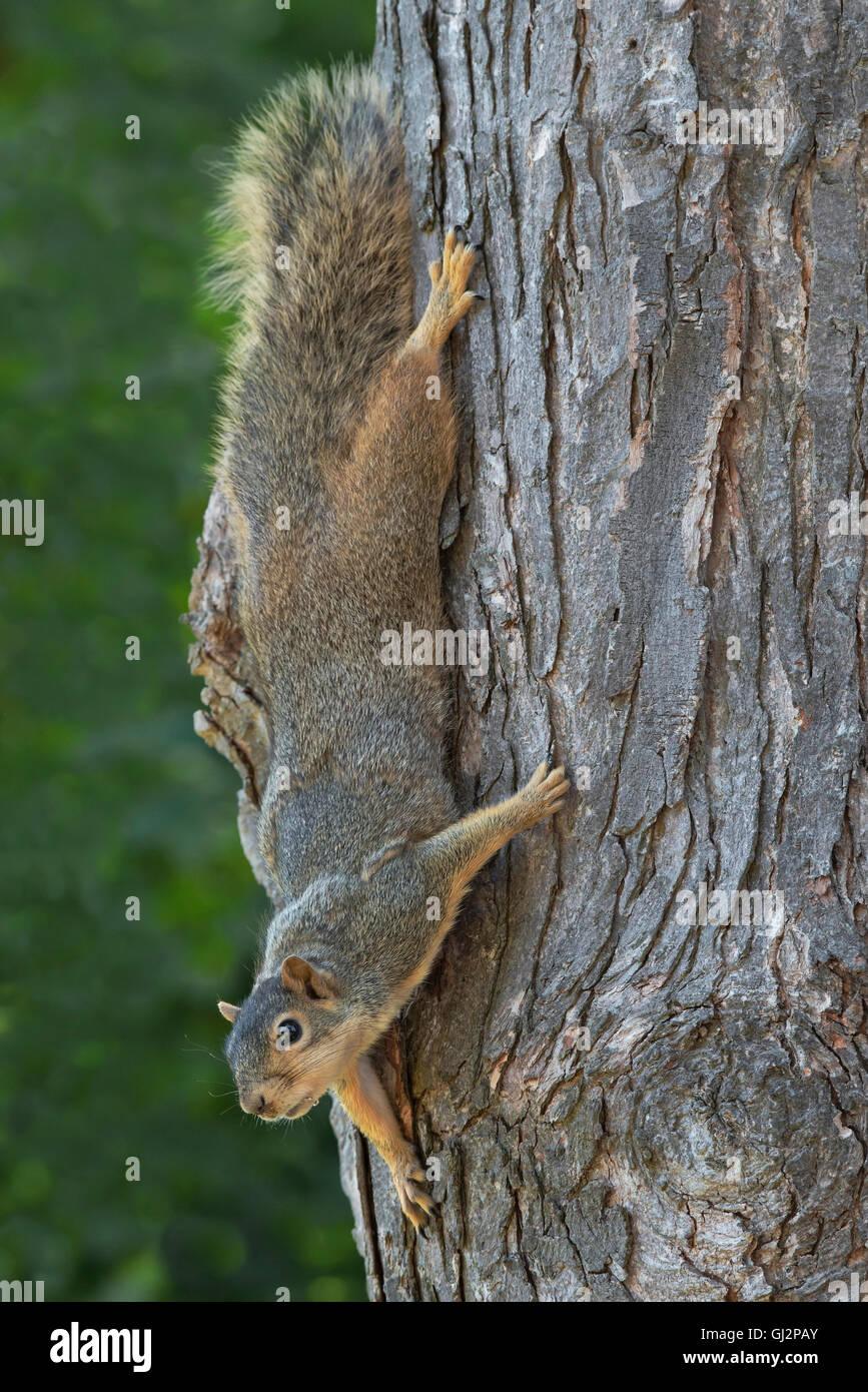 Eastern Fox Squirrel (Sciurus niger)  climbing down tree trunk, Maple (Acer species), E USA - Stock Image