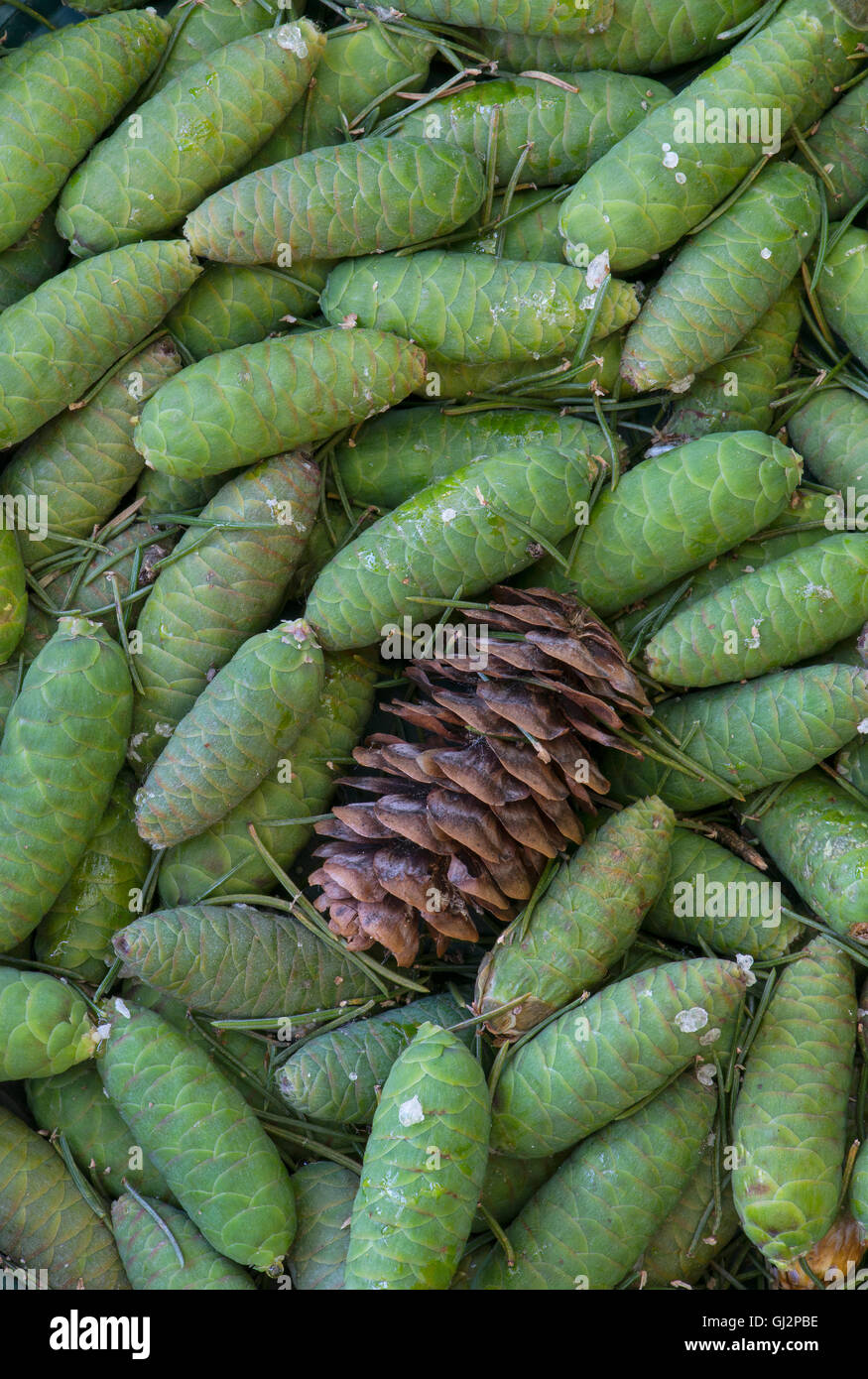 Blue Spruce Tree young and mature pine cones ( Picea pungens ) North America - Stock Image