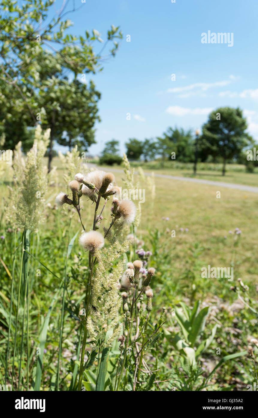 Fluffy mature Creeping Thistle (Cirsium arvense) seed heads ready for wind dispersal surrounded by grass seed heads - Stock Image