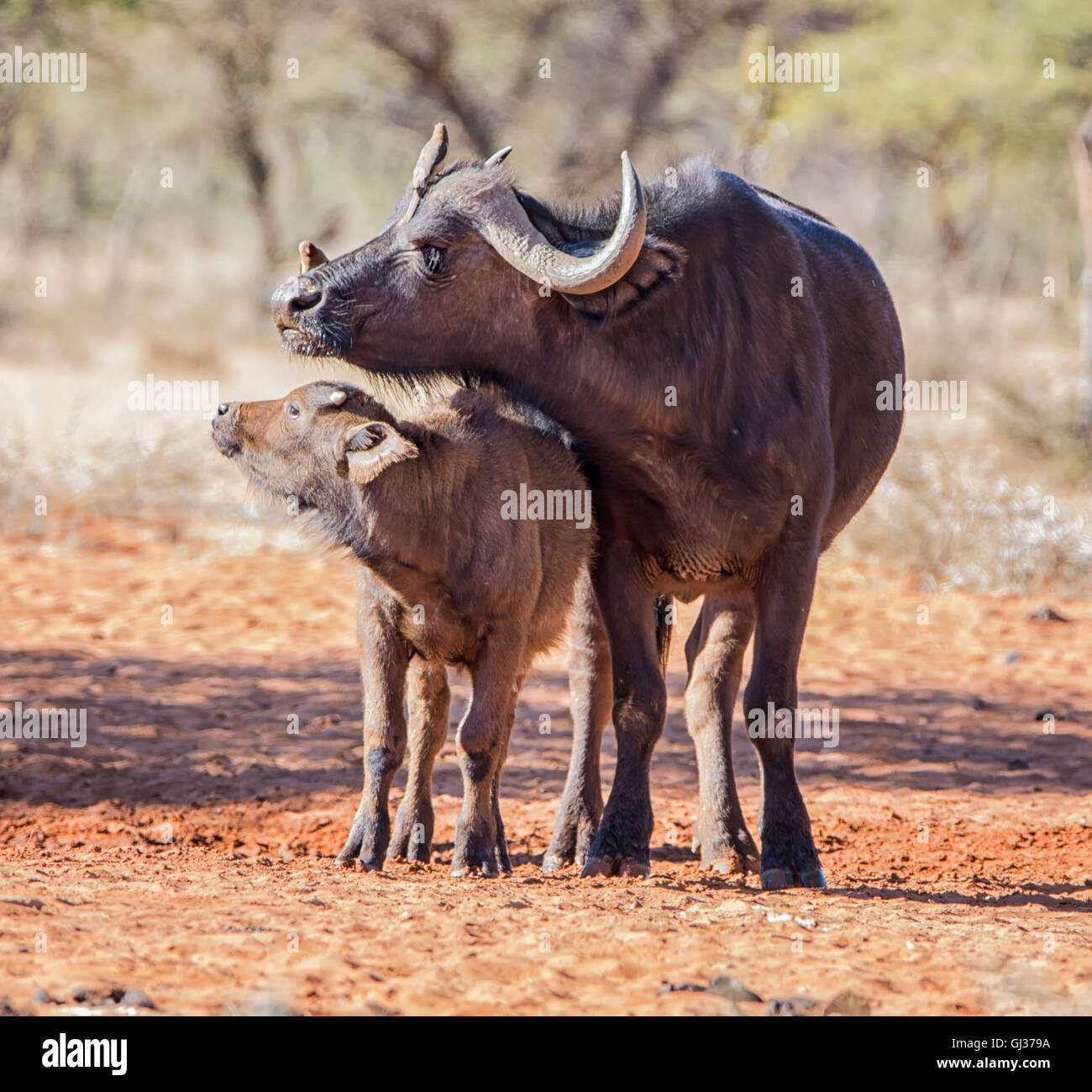 An African Buffalo mother and calf standing in savanna while the mother gets a grooming from Oxpecker birds - Stock Image
