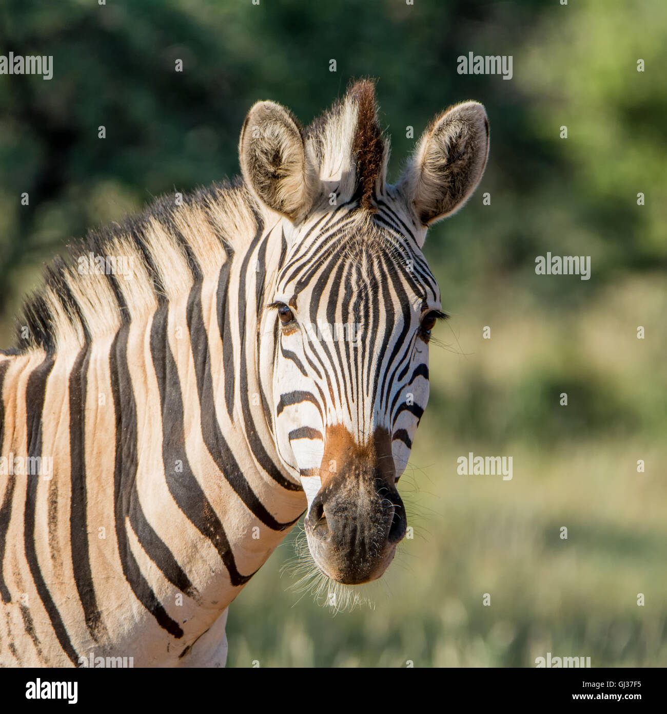 Portrait of a Burchell's Zebra in Southern African savannah - Stock Image