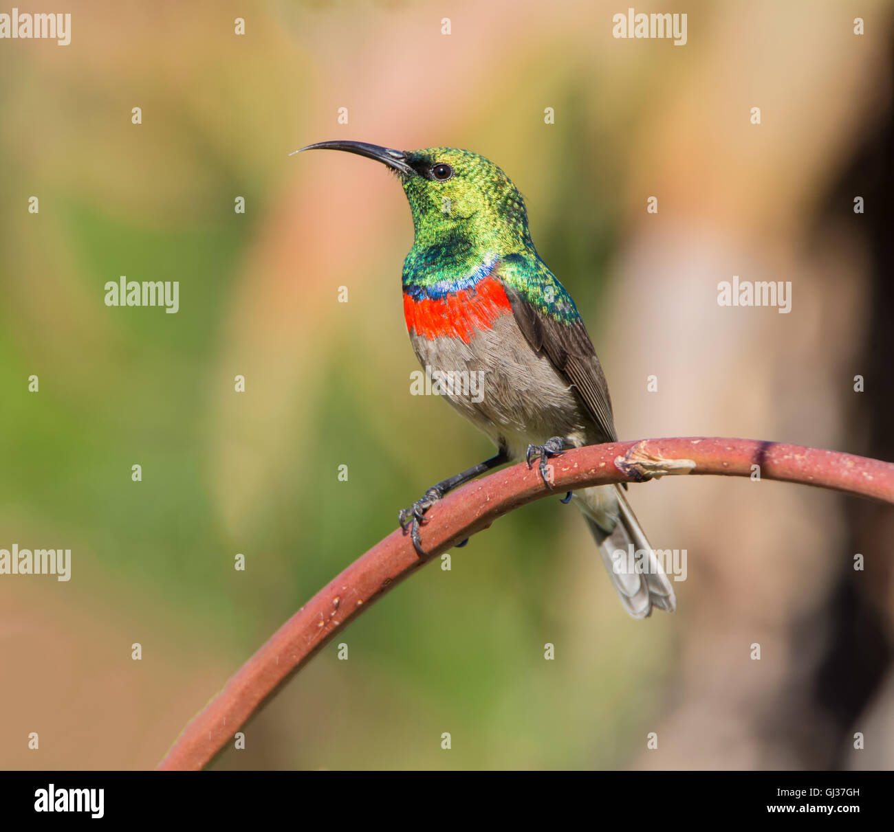 A male Southern Double-collared Sunbird perched on an aloe plant branch in Southern Africa - Stock Image