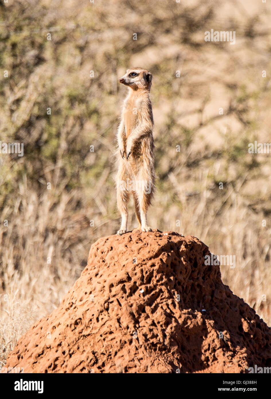 A Meerkat stands sentry on a termite mound while the family forages in Southern African savanna - Stock Image