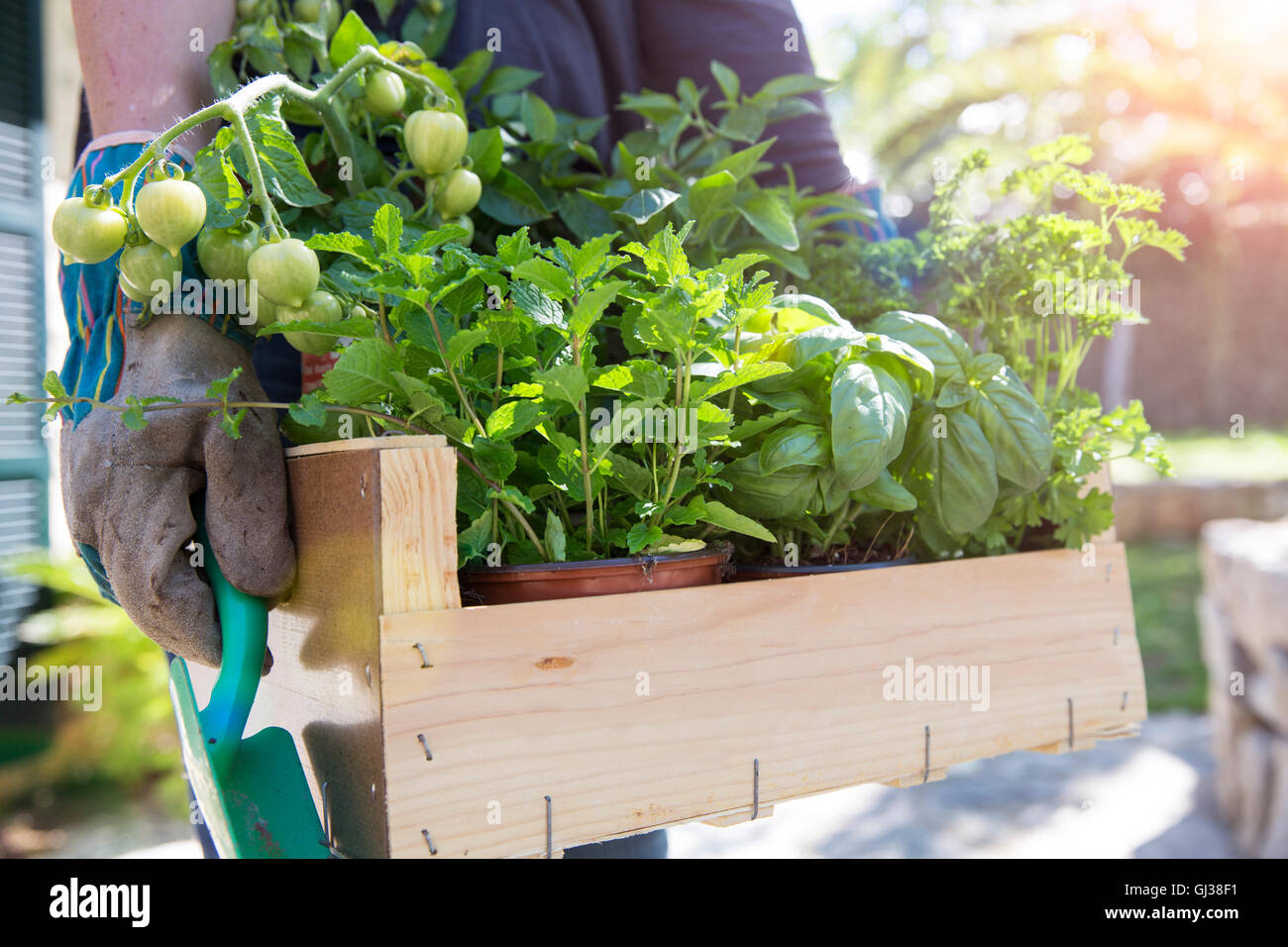 Woman carrying crate of herb plants in garden - Stock Image