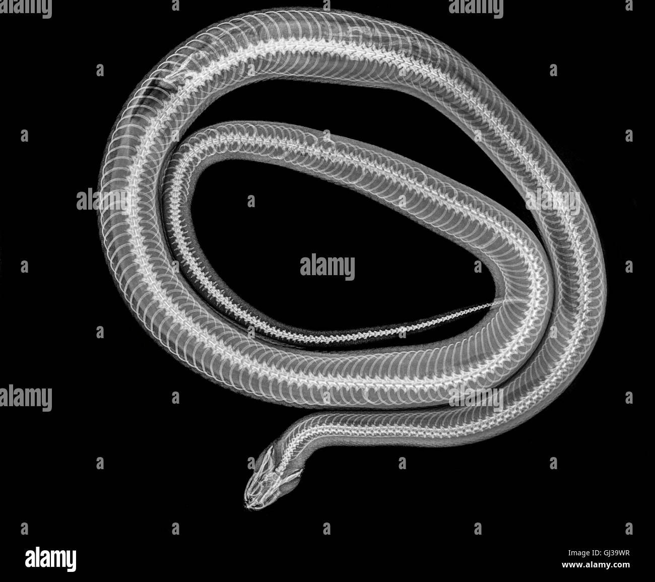 X-ray of a snake digesting a mouse - Stock Image