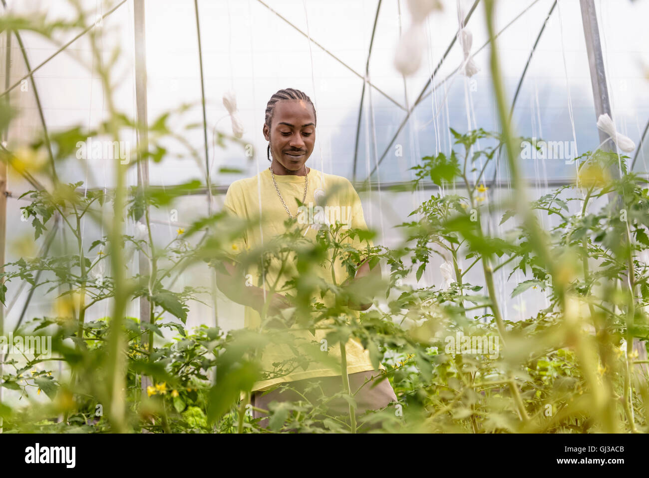 Worker removing tomato plants side shoots in Hydroponic farm in Nevis, West Indies - Stock Image