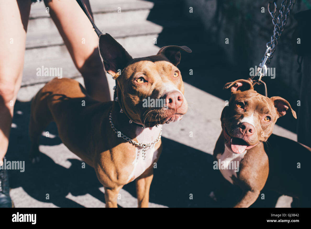 Portrait of two pit bull terriers on urban stairwell - Stock Image