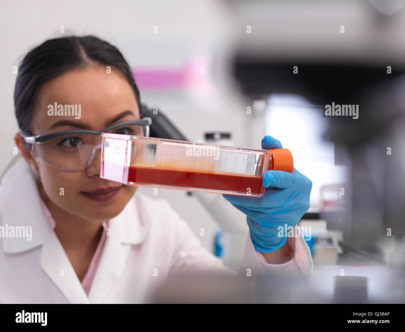 Female scientist examining cell cultures growing in a culture jar in the laboratory - Stock Image