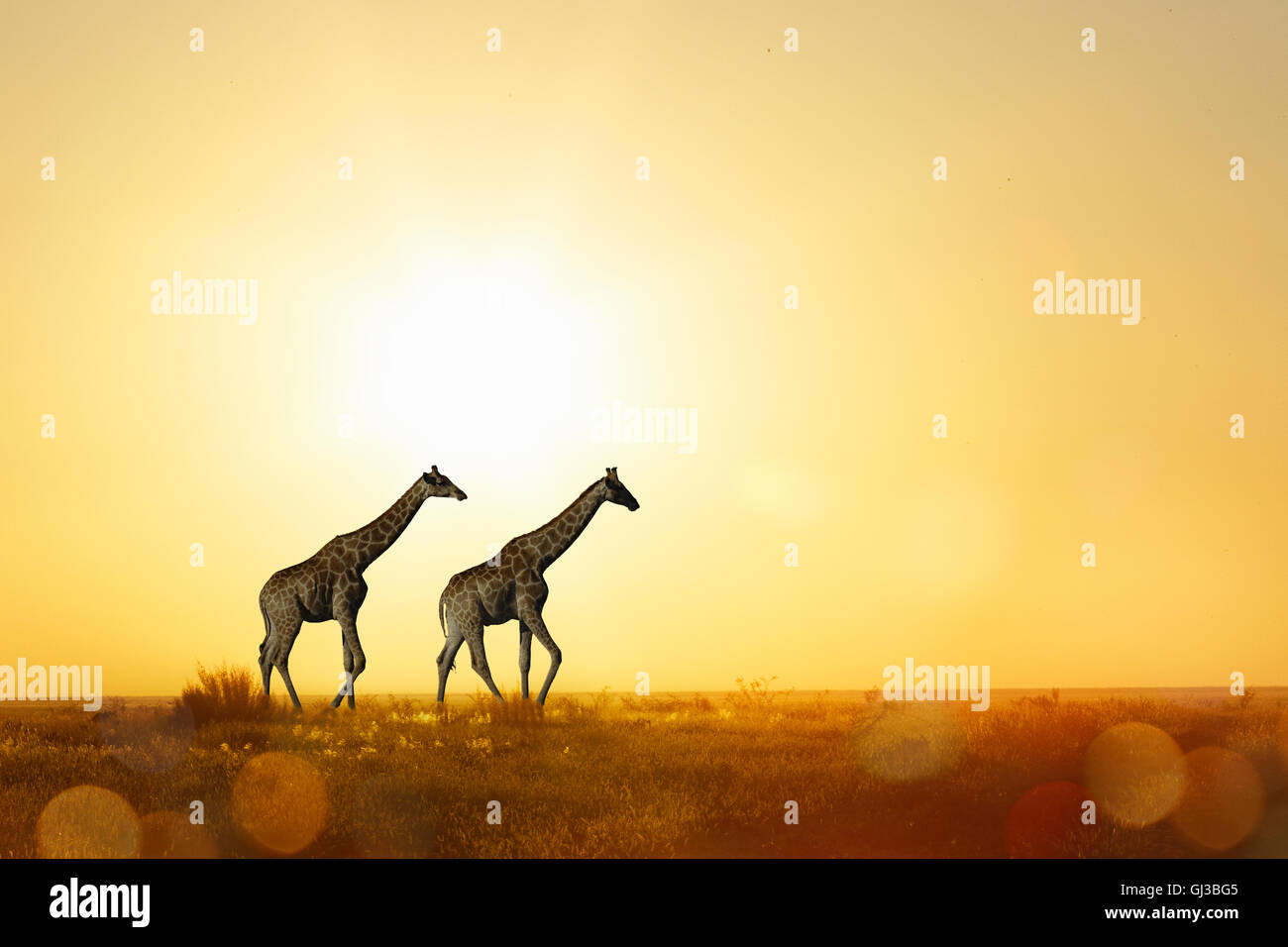 Giraffes at sunset, Etosha National Park, Namibia - Stock Image