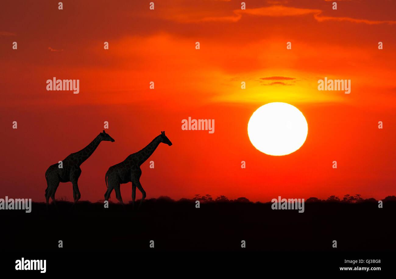 Giraffes at sunset, Etosha National Park, Namibia - Stock Image