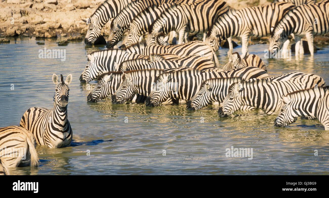 Zebras in pond, Etosha National Park, Namibia - Stock Image