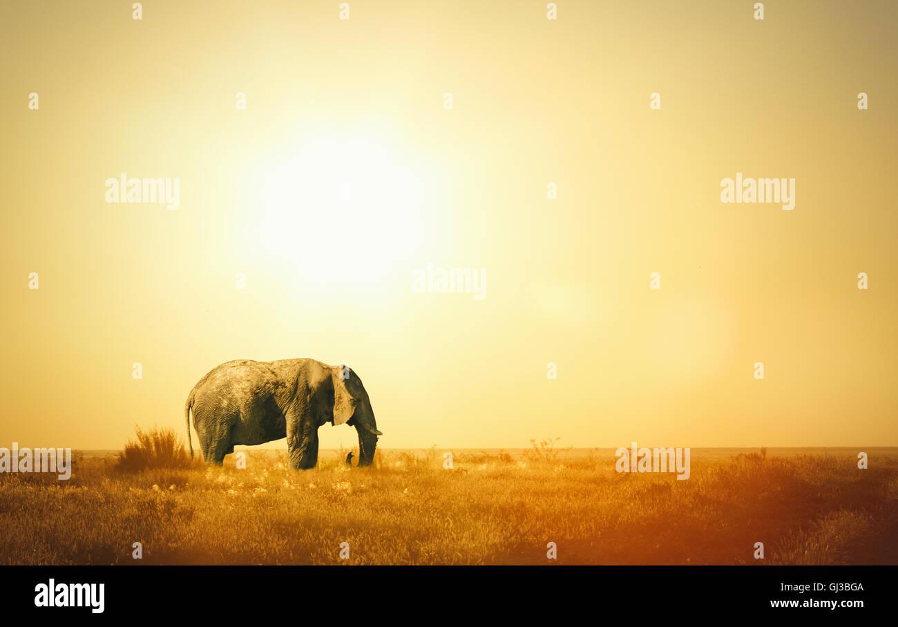 Elephant at sunset, Etosha National Park, Namibia - Stock Image