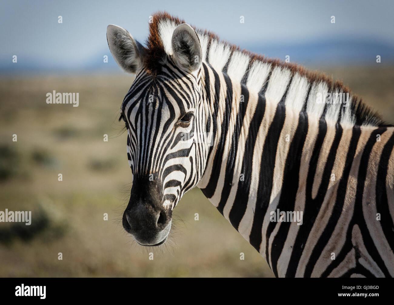 Zebra, Etosha National Park, Namibia - Stock Image