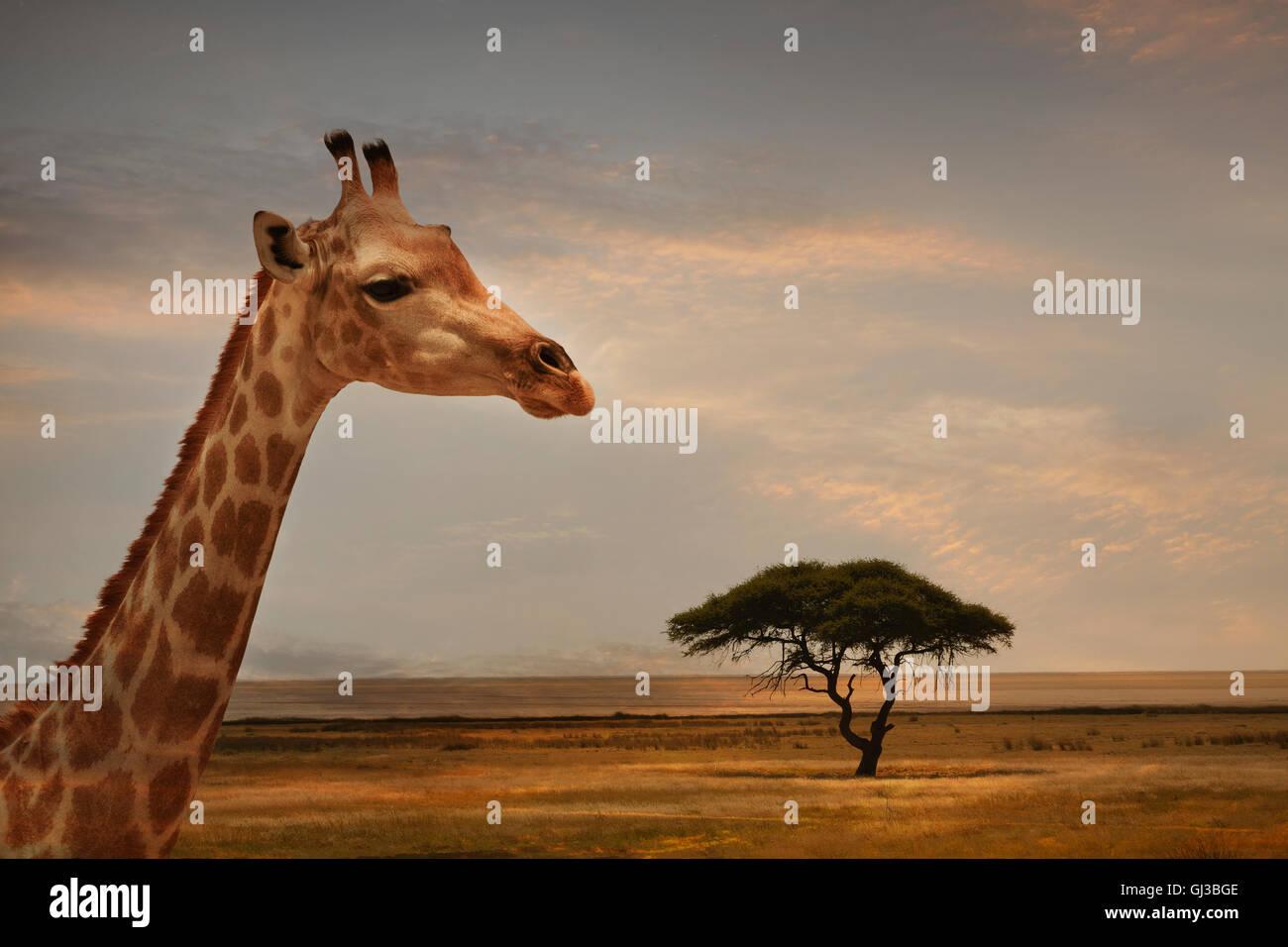 Giraffe at sunset, Etosha National Park, Namibia - Stock Image