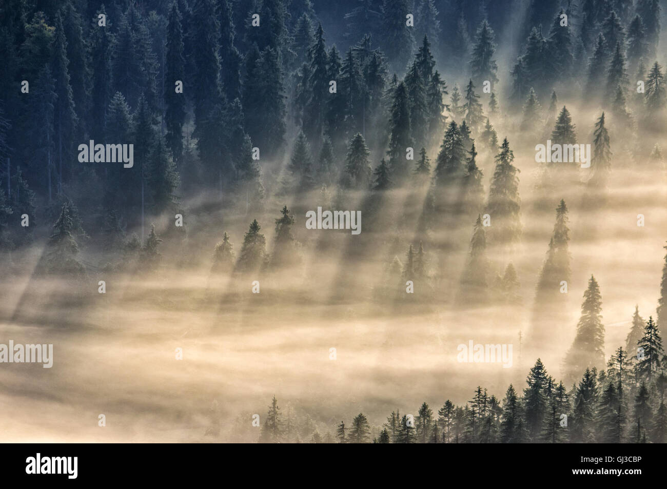 spruce trees in a foggy valley lightened by sun rays. view from the top - Stock Image
