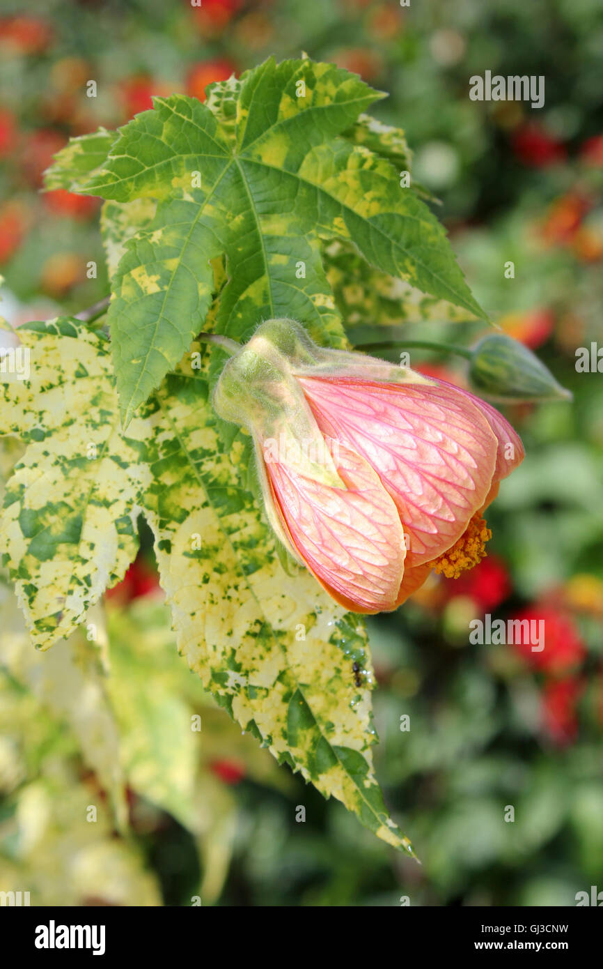 Chinese Bell Flower Abutilon hybridum Stock Photo