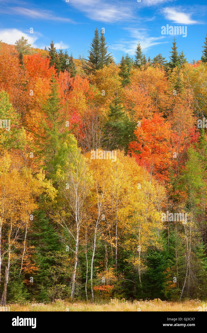 Forest near Woodstock, Vermont, USA - Stock Image