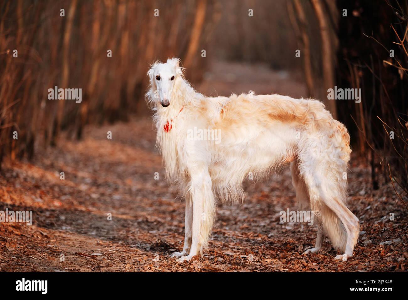 White Russian Wolfhound Dog, Borzoi, Russian Hunting, Sighthound, Russkaya Psovaya Borzaya, Psovoi. Stock Photo