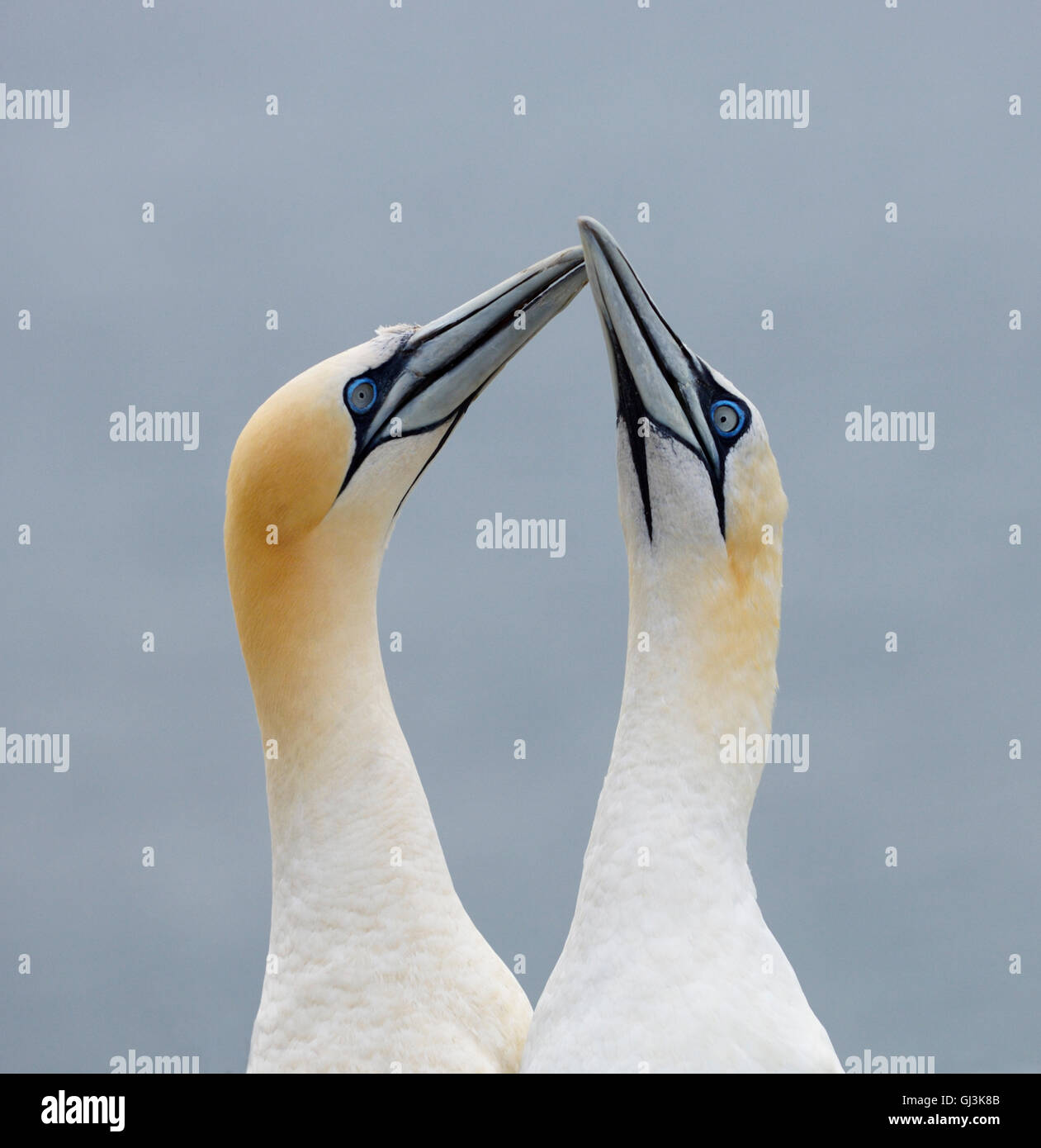 Northern Gannet (Morus bassanus) - UK - Stock Image