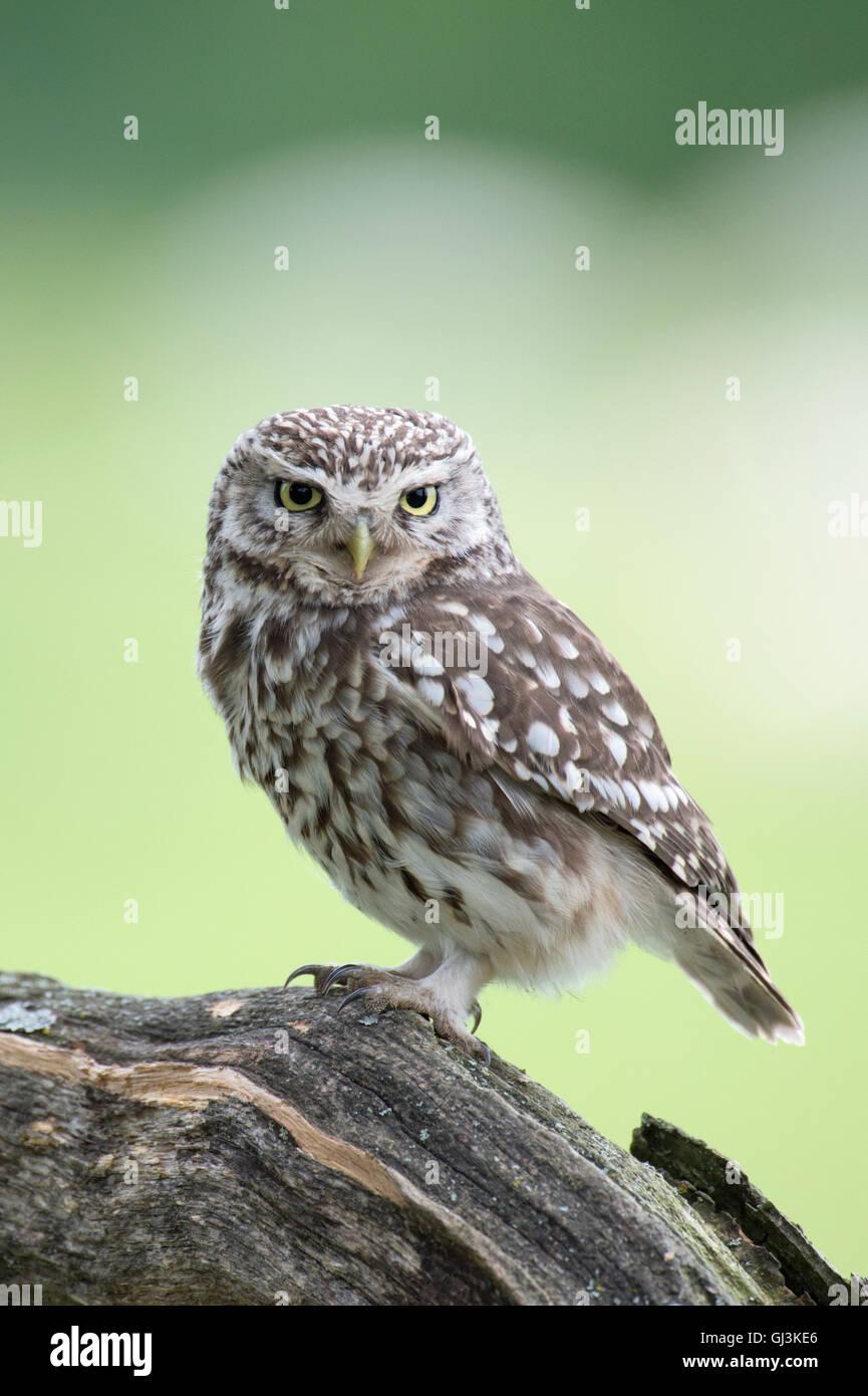 Little owl (Athene noctua) - UK - Stock Image