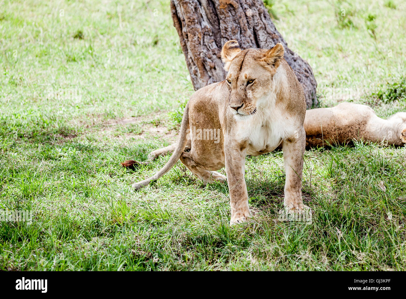 lion and tree - Stock Image