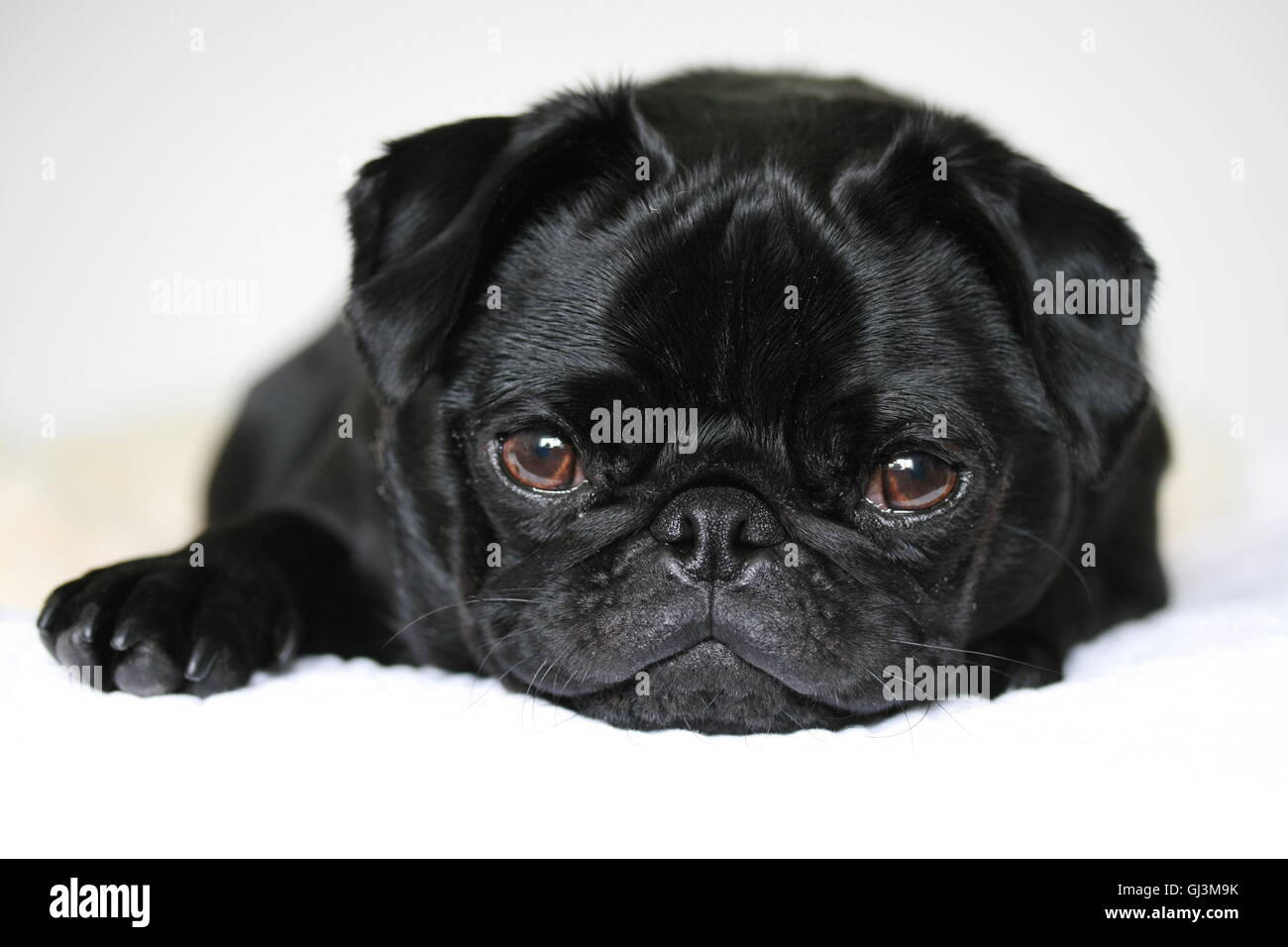 cute black male 2 year old pug dog. relaxed and sleepy - Stock Image