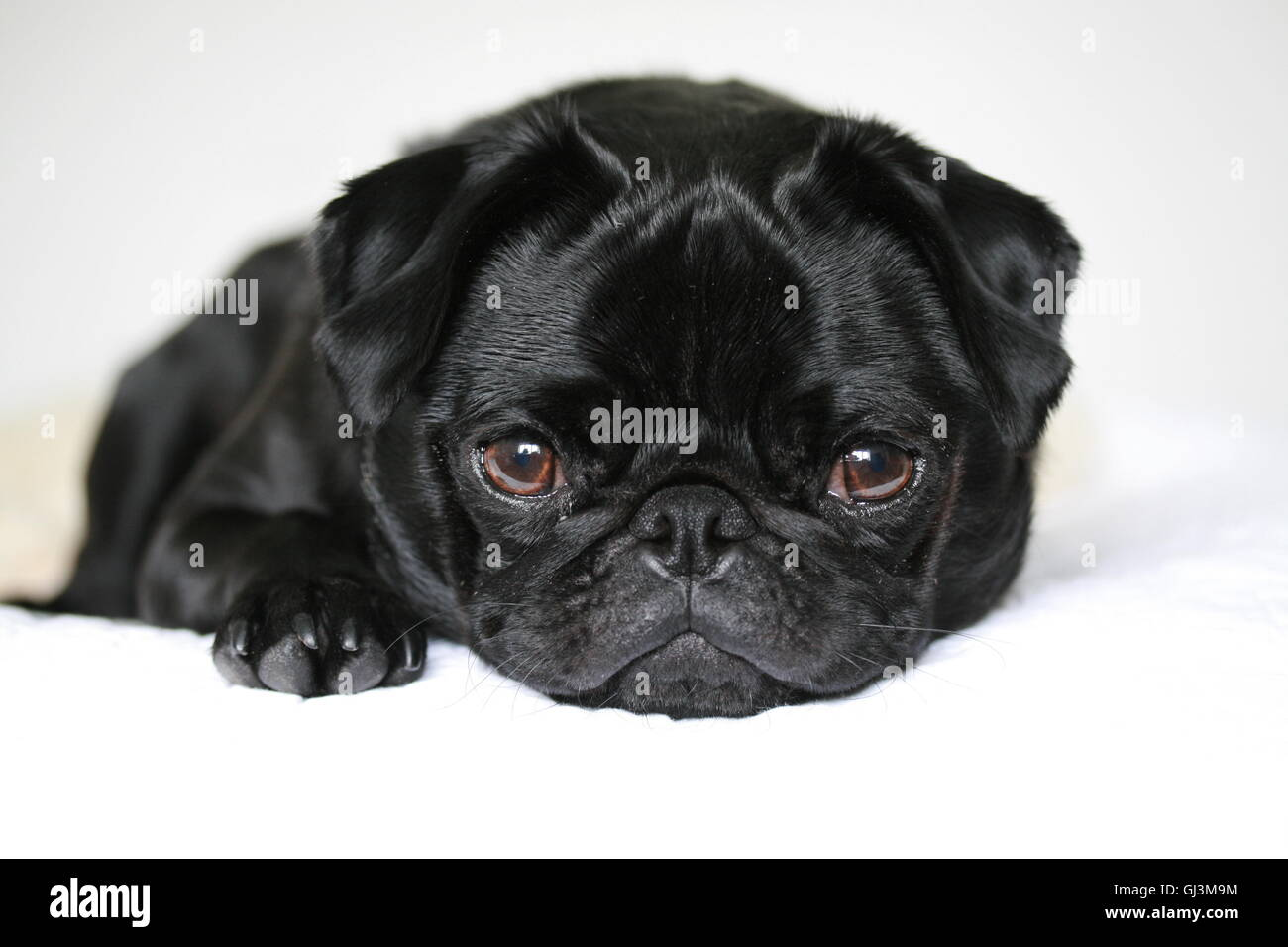 cute black pug dog, 2 year old male pug - Stock Image