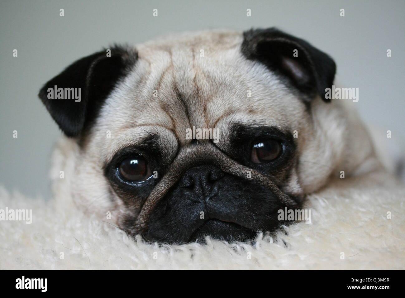 Fawn pug on a sheepskin rug - Stock Image