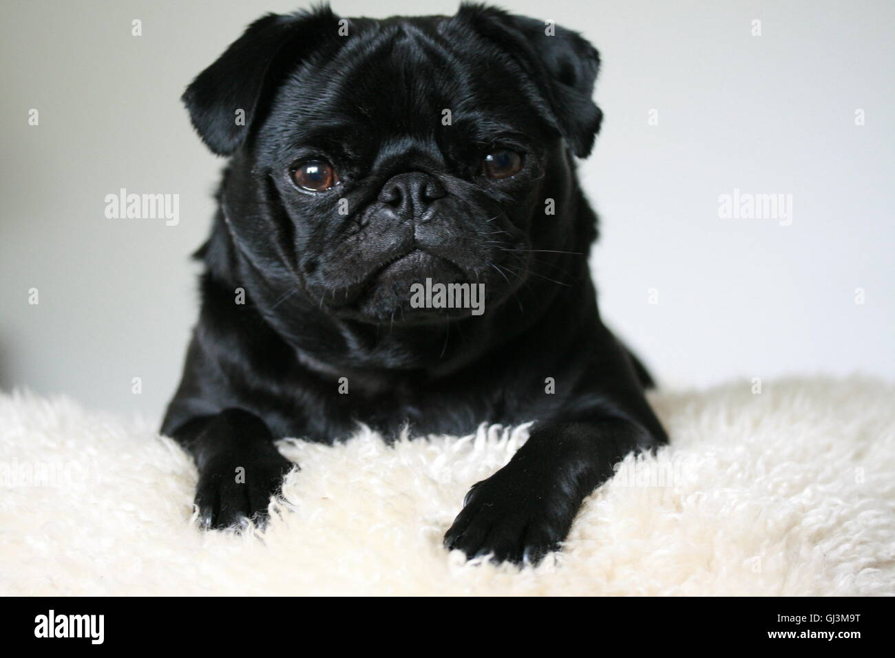 cute 2 year old black pug male dog - Stock Image