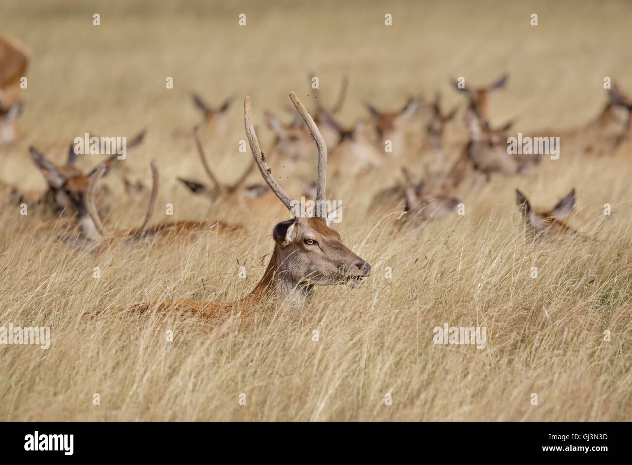 Young Red Deer stag (Cervus elaphus) with herd behind in long grass - Stock Image