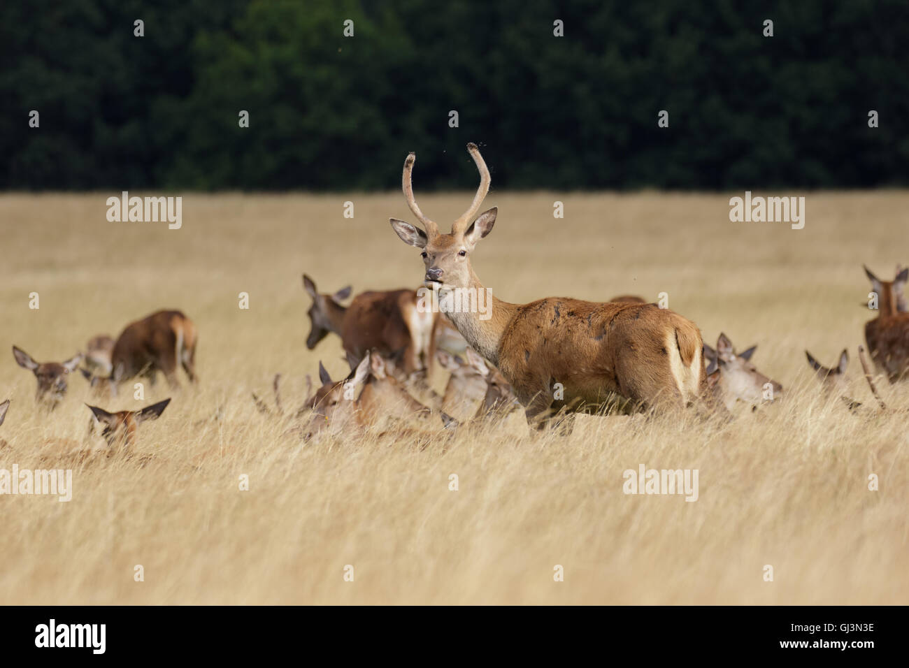 Young Red Deer stag or pricket (Cervus elaphus) with herd in long grass - Stock Image