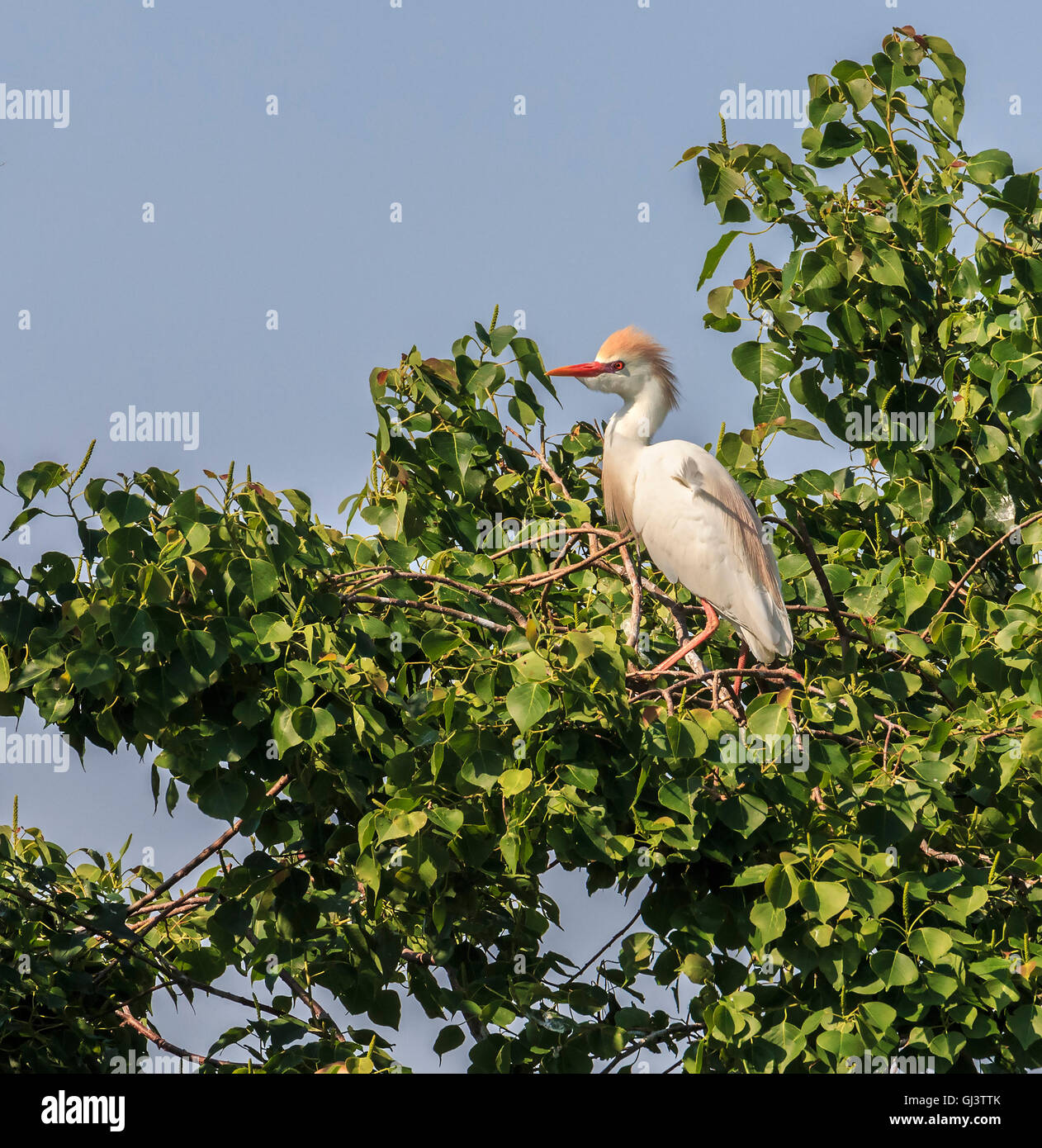 The cattle egret during breeding season with orange plumage visible on the head. - Stock Image
