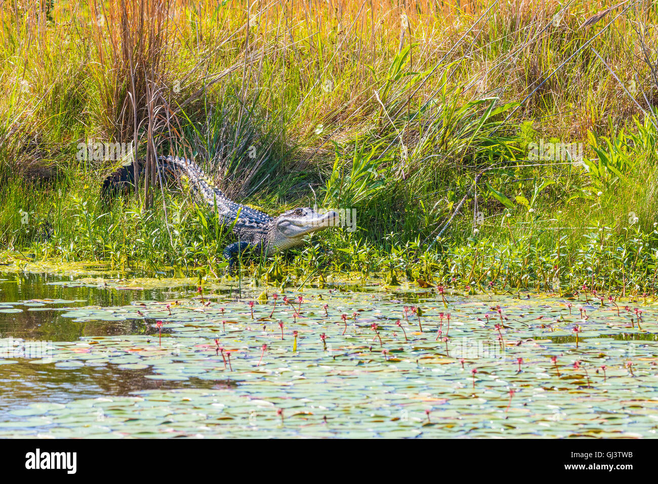 Alligator seen during drive along three mile Pintail Wildlife Drive in Cameron Prairie National Wildlife Refuge, - Stock Image
